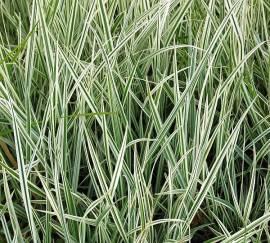 Arrhenatherum elatius ssp.bulbosum 'Variegatum', Gestreifter Knollen-Glatthafer - Bild vergrößern