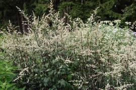 Artemisia  lactiflora 'Guizhou', Beifuß, chinesischer - Bild vergrößern