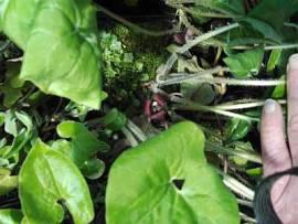 Asarum caudatum, geschwänzte Haselwurz - Bild vergrößern