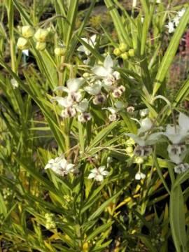 Seidenpflanze, Asclepias physocarpa - Bild vergrößern
