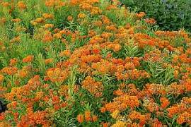 Seidenpflanze  Asclepias tuberosa - Bild vergrößern
