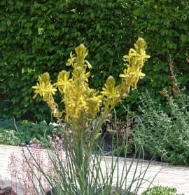 Junkerlilie, Asphodeline lutea - Bild vergrößern
