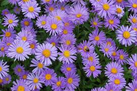 Aster alpinus, violett, Alpenaster - Bild vergrößern