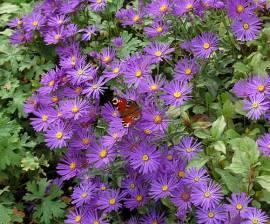 Schmetterlingsbeet, 21 Stauden - Bild vergrößern