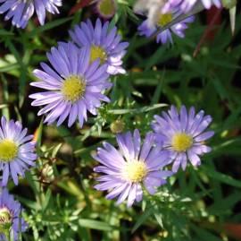 Aster ericoides 'Blue Wonder', Myrtenaster, Septemberkraut - Bild vergrößern