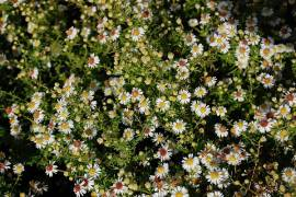 Aster ericoides 'Weißer Zwerg', Myrtenaster - Bild vergrößern
