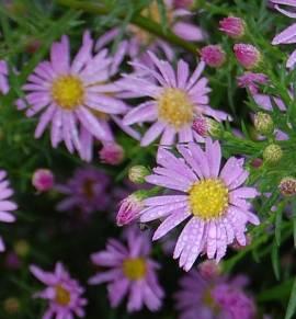 Aster pringlei 'Pink Star', Myrtenaster - Bild vergrößern