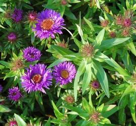 Raublattaster, Aster novae-angliae 'Purple Dom' - Bild vergrößern