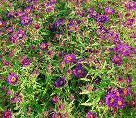 Aster novae-angliae 'Violetta', Raublattaster - Bild vergrößern
