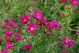 Aster novi - belgii 'Crimson Brocade', Glattblattaster - Bild vergrößern
