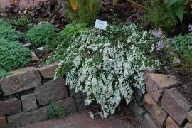 Aster pansos 'Snow Flurry', Teppich-Myrtenaster - Bild vergrößern