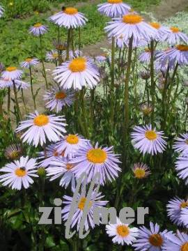 Aster tongolensis 'Berggarten' Frühlingsaster - Bild vergrößern