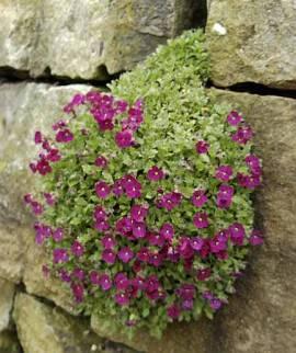 Aubrieta Hybride 'Rubinfeuer' Blaukissen,rubinrot - Bild vergrößern