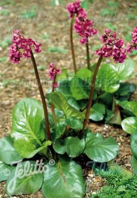Bergenia cordifolia 'Rotblum' Bergenie - Bild vergrößern
