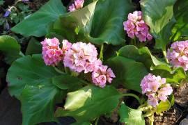 Bergenia Hybride 'Herbstblüte' Bergenie - Bild vergrößern