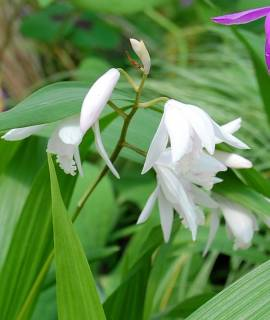 Bletilla striata 'Alba', China Freiland- Orchidee - Bild vergrößern