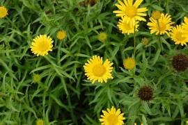 Ochsenauge  Buphthalmum salicifolium - Bild vergrößern