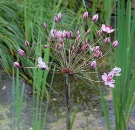 Butomus umbellatus 'Rosenrot', Blumenbinse, Schwanenblume - Bild vergrößern