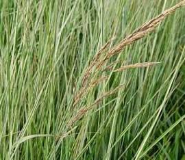 Calamagrostis acutiflora 'Overdam', Reitgras - Bild vergrößern