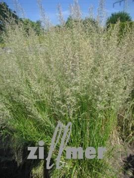 Calamagrostis acutiflora 'Waldenbuch', Garten-Reitgras - Bild vergrößern