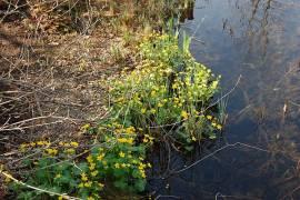 Caltha palustris, Sumpfdotterblume - Bild vergrößern