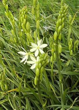 Camassia leichtlinii 'Alba', Prärielilie, Präriekerze - Bild vergrößern