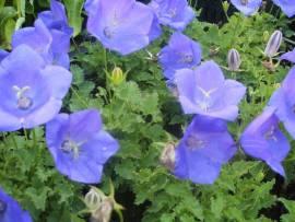 Campanula carpatica 'Blaue Clips', Karpaten - Glockenblume - Bild vergrößern