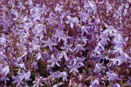 Campanula poscharskyana 'Frühlingszauber', Hängepolsterglockenblume - Bild vergrößern