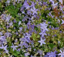 Campanula garganica 'Major', Polster - Glockenblume - Bild vergrößern