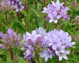 Campanula glomerata 'Caroline' Knäuelglockenblume - Bild vergrößern