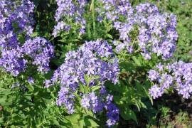 Campanula lactiflora  'Prichard's Variety' Doldenglockenblume - Bild vergrößern