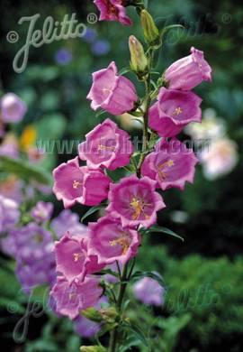 Campanula medium 'Rosa' Marien - Glockenblume - Bild vergrößern