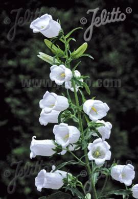 Campanula medium 'Weiß' Marien - Glockenblume - Bild vergrößern