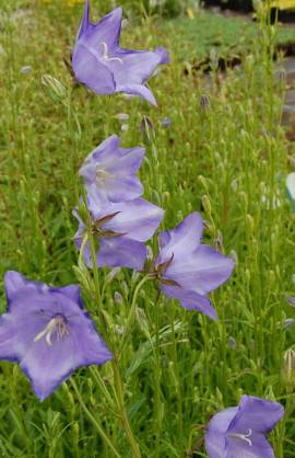 Campanula persicifolia 'Telham Beauty'' Pfirsichblättrige Glockenblume - Bild vergrößern