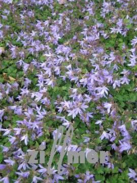 Campanula poscharskyana 'Blauranke', Hängepolsterglockenblume - Bild vergrößern