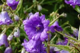 Campanula trachelium 'Bernice', Glockenblume, nesselblättrige - Bild vergrößern