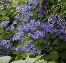 Campanula trachelium. nesselblättrige Glockenblume - Bild vergrößern