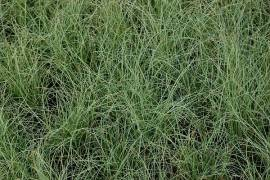 Carex comans 'Frosted Curls', Segge - Bild vergrößern