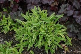 Carex siderosticha 'Island Brocade', Teppichsegge - Bild vergrößern