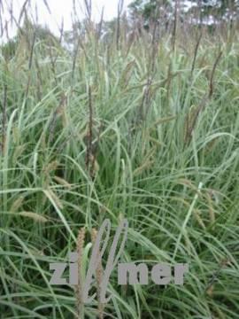 Carex flacca 'Buis', Blaugrüne Segge - Bild vergrößern