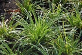 Carex folioissima ' Ice Dance' Japansegge - Bild vergrößern