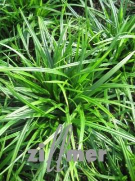 Carex folioissima ' Irish Green' Japansegge - Bild vergrößern