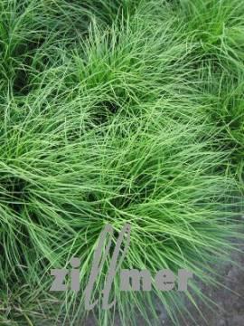 Carex montana, Bergsegge - Bild vergrößern