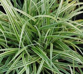 Carex morrowii ssp.foliosissima (dolichostachya) 'Silver Sceptre', Japansegge - Bild vergrößern