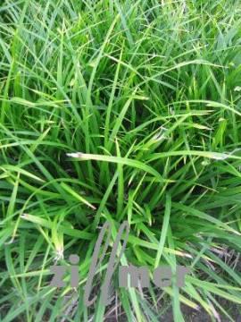 Carex morrowii  Japansegge - Bild vergrößern