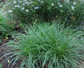 Carex morrowii ' Variegata' Japansegge - Bild vergrößern