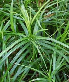Carex muskingumensis, Palmwedelsegge - Bild vergrößern