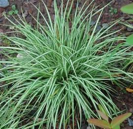 Carex ornithopoda 'Variegata', Vogelfußsegge - Bild vergrößern