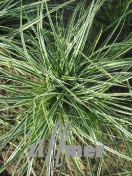 Carex oshimensis 'Everest', Japansegge - Bild vergrößern