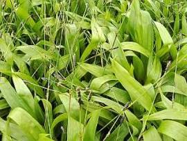 Carex plantaginea, Breitblattsegge - Bild vergrößern